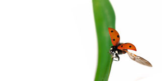 Fly Of Ladybird Royalty Free Stock Photo