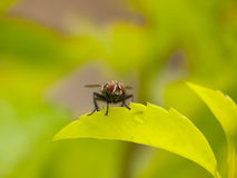 Free Fly On Green Leaf Royalty Free Stock Photos - 14070368