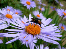 Free Fly On The Flower Stock Photography - 3198022