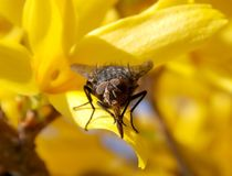 Fly. One fly on yellow flowers Stock Photos