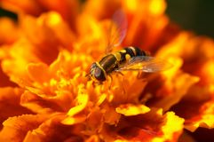 Fly on the orange flower. Closeup of fly on the orange flower. Shallow focus depth on the fly royalty free stock photo