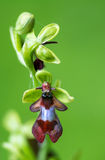 Fly orchid (Ophrys insectifera) detail of flower Stock Images