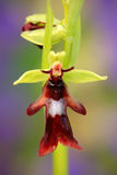 Fly Orchid, Ophrys insectifera, flowering European terrestrial wild orchid, nature habitat, detail of bloom, green and violet clea Royalty Free Stock Photos