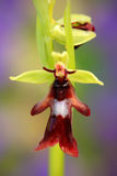 Fly Orchid, Ophrys insectifera, flowering European terrestrial wild orchid, nature habitat, detail of bloom, green and violet clea Stock Images