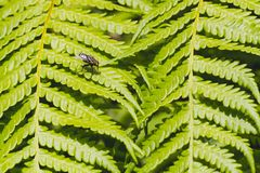 Fly on the ostrich fern leaf. stock photography