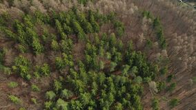 Fly over the colourful trees in a wood. Tops of a fir trees.
