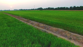 Fly over green rice farm field with sun at twilight time in Thailand; 4K 30fps, aerial tilt up as top view stock video