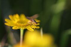 Fly over yellow flower at dusk Stock Photography