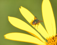 Fly Perched On A Flower Royalty Free Stock Photo
