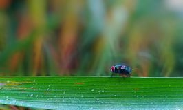 a fly perched on a leaf Royalty Free Stock Photos
