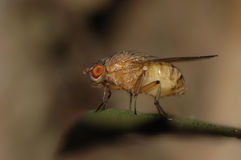 Fly perched on a leaf Royalty Free Stock Photo
