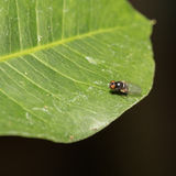 Fly perched on a leaf. Macro Royalty Free Stock Photos