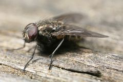 Fly perched on wood. Extreme closeup of perched fly Stock Photography