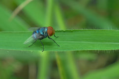 The fly is perching on the green leaf. The fly is resting Royalty Free Stock Images