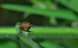 The fly is perching on the green leaf. The fly is resting Royalty Free Stock Photography