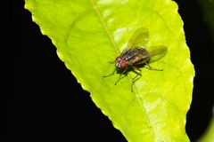 Fly. This is a photo of a fly, was taken in XiaMen botanical garden, China Stock Image