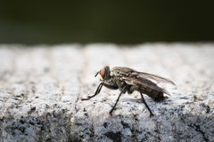 Fly. This is a photo of a fly, was taken in XiaMen exhibition garden, China Stock Image
