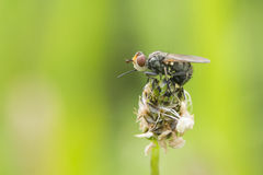 Fly-Physocephala sp. Royalty Free Stock Image