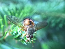 Fly on pine needles Royalty Free Stock Images