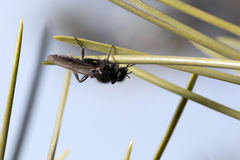 Fly on pine needles. Macro Stock Photography