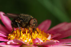 Fly on a Pink Daisy In The Dark. Macro shot of a fly eating lunch on Pink Daisy stock photos