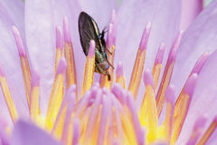 Fly in pink lotus flower Stock Photos