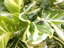 Fly on plant. Flies are insects of the order diptera Royalty Free Stock Image