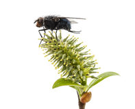 Fly on a plant Stock Photography