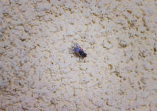 Fly on plaster. Fly on the wall close up. Black fly sitting on the plaster Royalty Free Stock Images