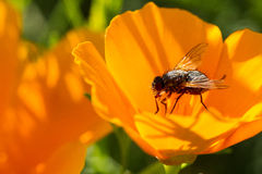 Fly on poppy Royalty Free Stock Image