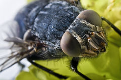 Fly portrait Stock Images