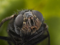 Fly portrait Royalty Free Stock Photos