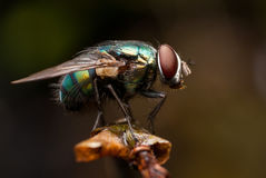 Fly Portrait Stock Image