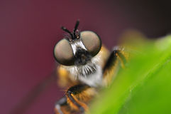 Fly portrait Royalty Free Stock Image