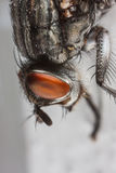 Fly portrait macro. Common house fly macro portrait. It is a little bit dirty and trying to clean itself. Focus on red eyes Stock Images