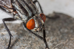 Fly portrait macro. Common house fly macro portrait. It is a little bit dirty and trying to clean it self. Focus on red eyes Stock Photo
