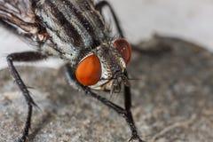Fly portrait macro Stock Photo