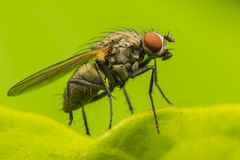 Fly Profile Royalty Free Stock Image