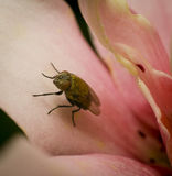The fly in the profile on the pink petal of a flower. on a dark background. Stock Image