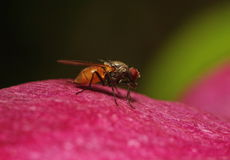 The fly in the profile on the red petal of a flower. on a dark green background. Stock Photography