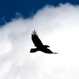 Fly raven. Fly raven against the sky Stock Image