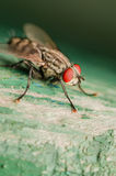 Fly Red Eye Macro Royalty Free Stock Photography