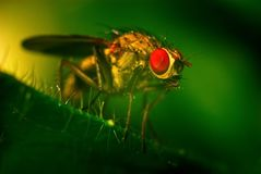 Fly with red eyes Stock Images
