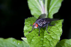 Fly with red eyes on a green leaf. Shallow depth of field Royalty Free Stock Photography