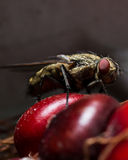 Fly with Red Eyes on Red Corn Stock Photo