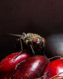 Fly with Red Eyes on Red Corn Royalty Free Stock Images