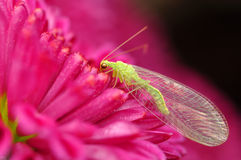 Fly on red flower, Chrysanthemum Stock Images