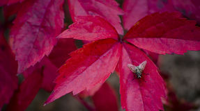 Fly on a red leaf Royalty Free Stock Photo