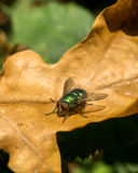 Fly resting on brown leaf Royalty Free Stock Photos