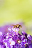 Fly resting on a lavender color flower. Macro shot of a house fly resting on a lavender flower stock photo